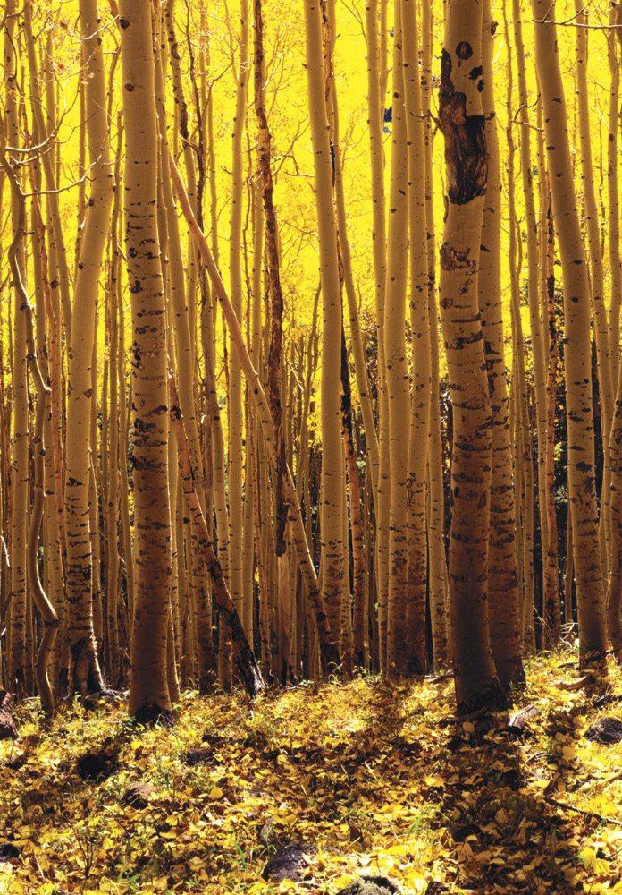 Aspen Trees - FL0304 | Tom Johnson | Photography-Exposures International Gallery of Fine Art - Sedona AZ