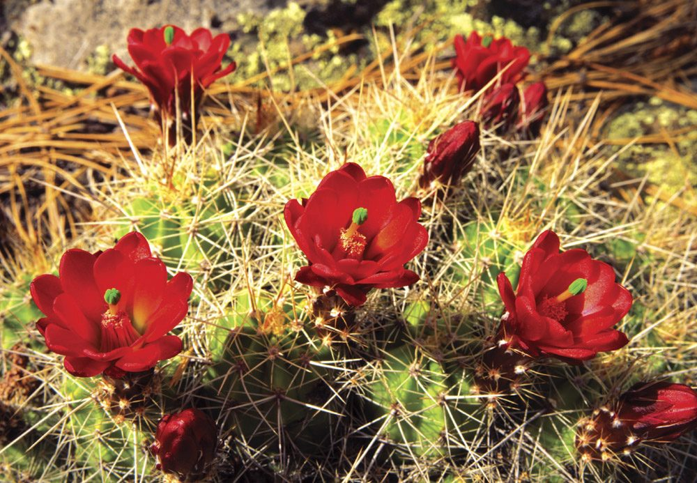 Claret Cup Cactus - MG0203 | Tom Johnson | Photography-Exposures International Gallery of Fine Art - Sedona AZ