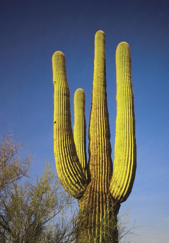 Saguaro Cactus - WK0102 | Tom Johnson | Photography-Exposures International Gallery of Fine Art - Sedona AZ